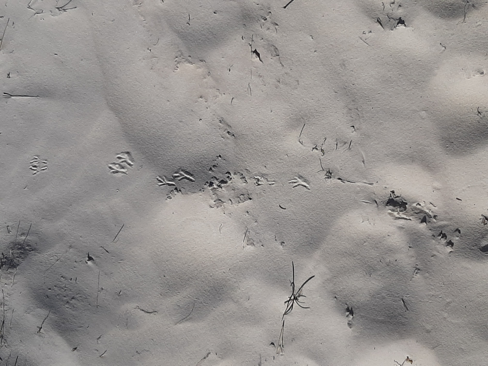 Tracks of a bird in the white sand of the dunes