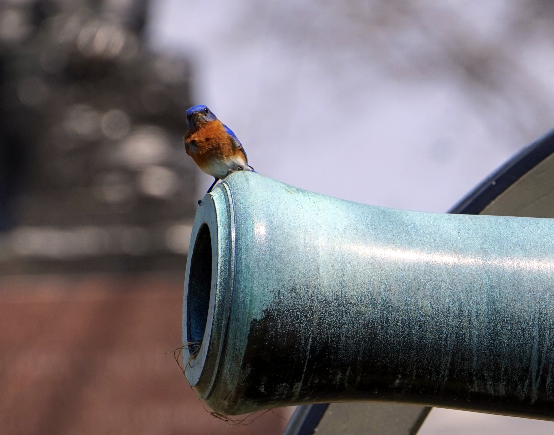 A bluebird guards a nest he built in a cannon