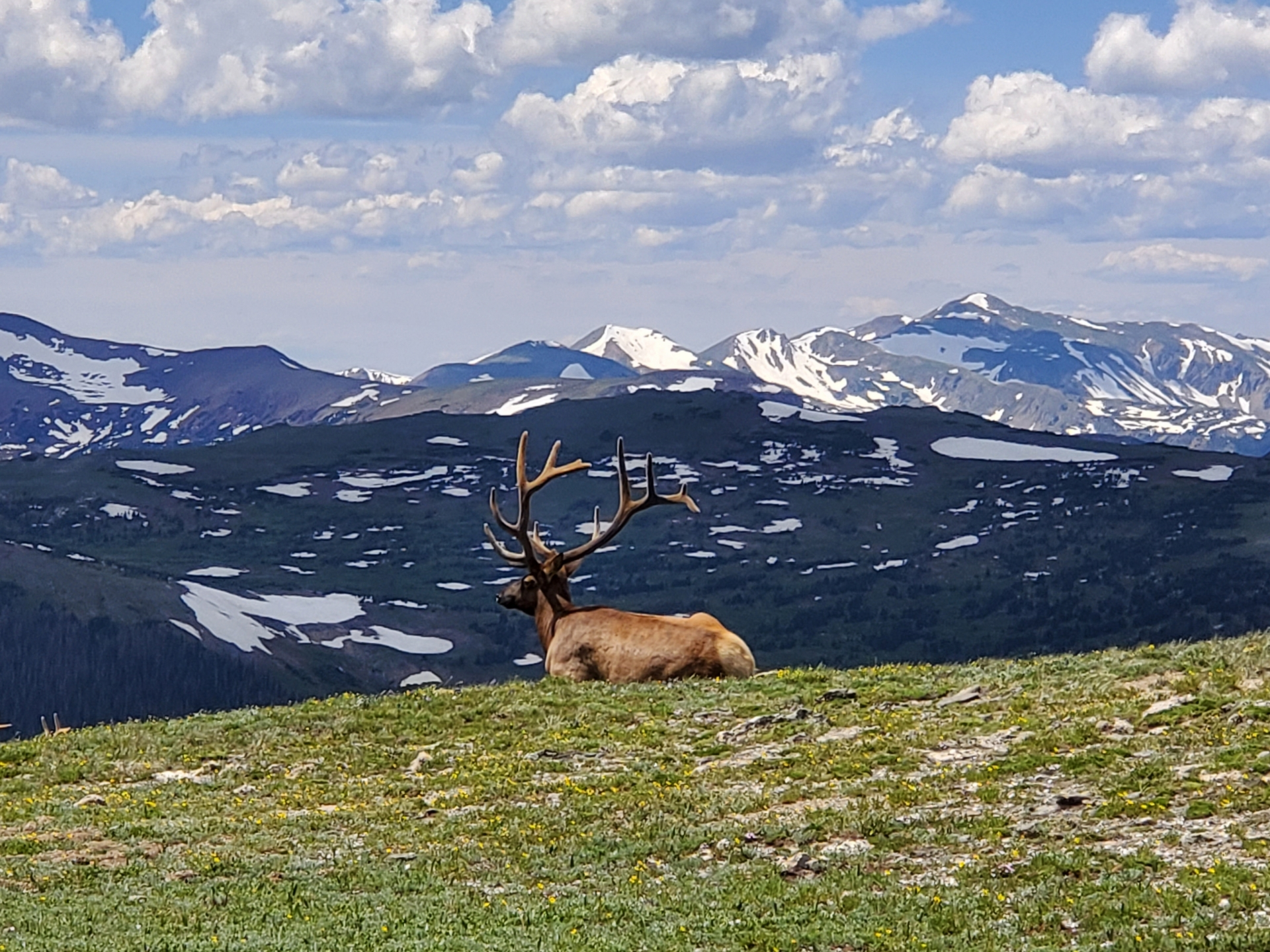 elk, Rocky Mountain National Park, Alpine Ridge Trail