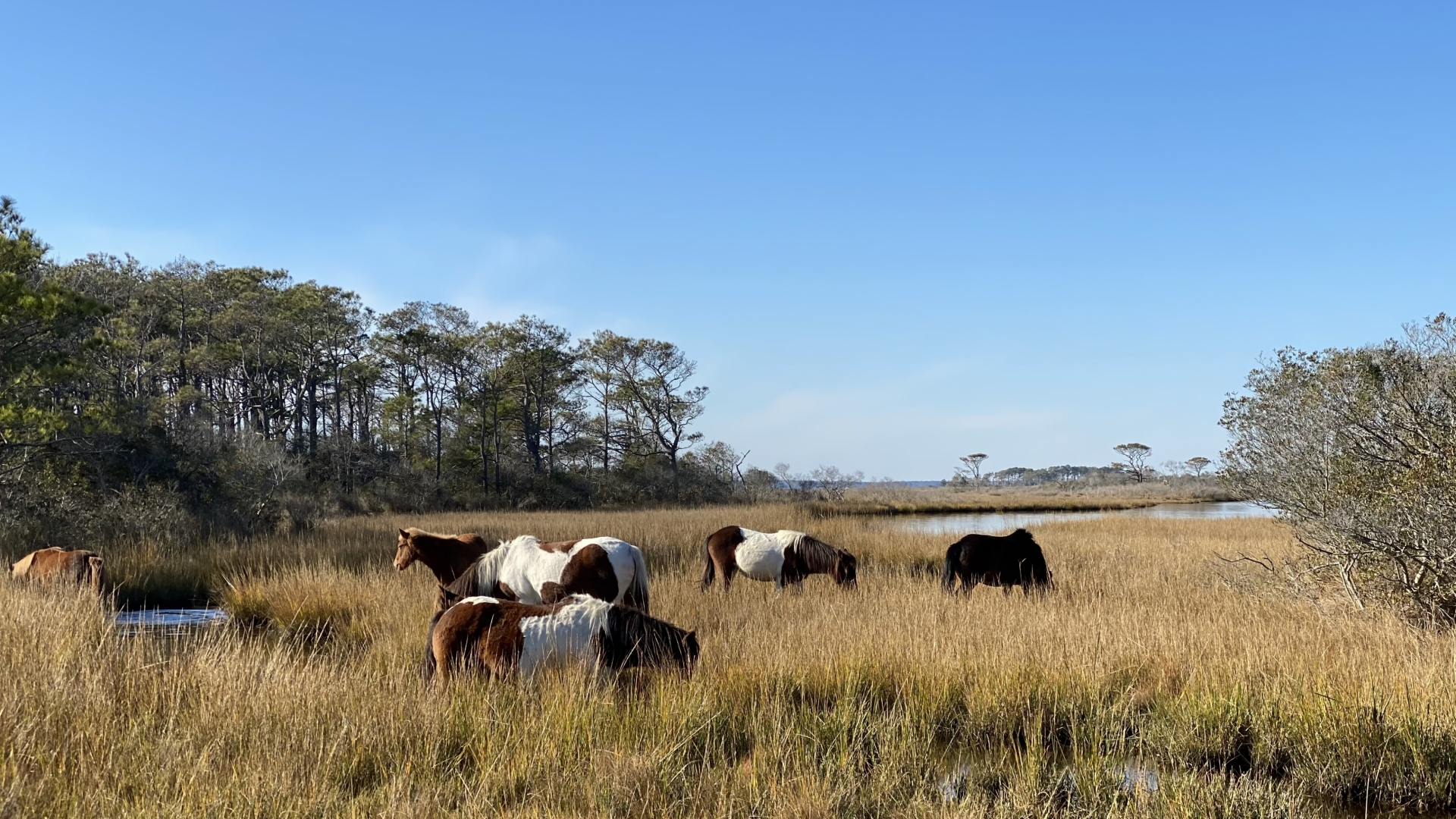 Wild Horses Roam Assateague Island National Seashore