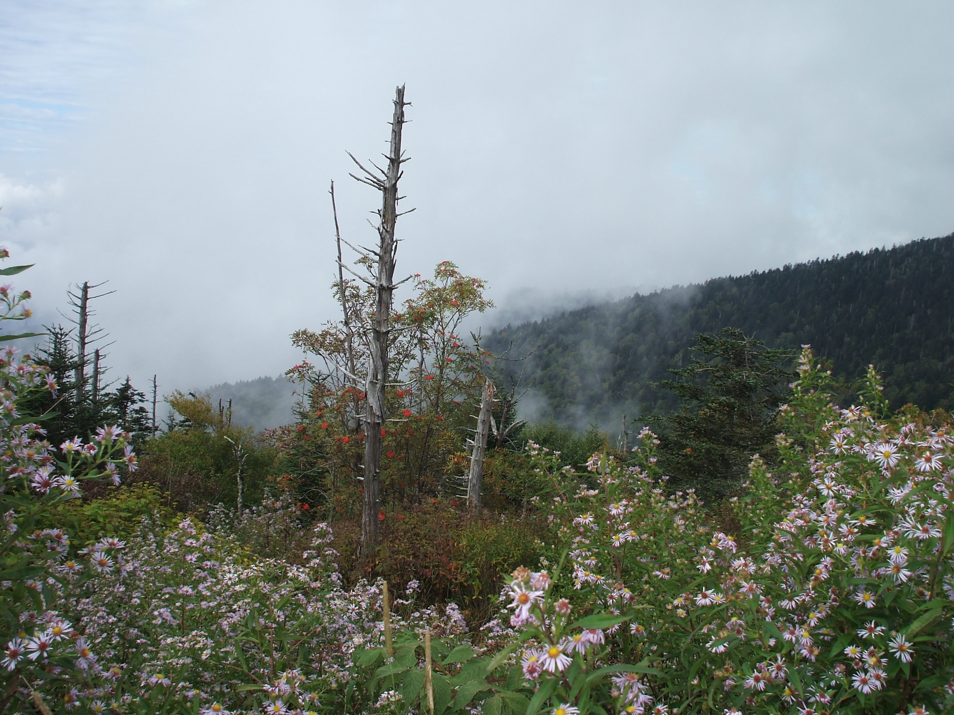 A dead pine tree in the center surrounded by the new life of wild flowers and the smoke of the mountains rising behind it
