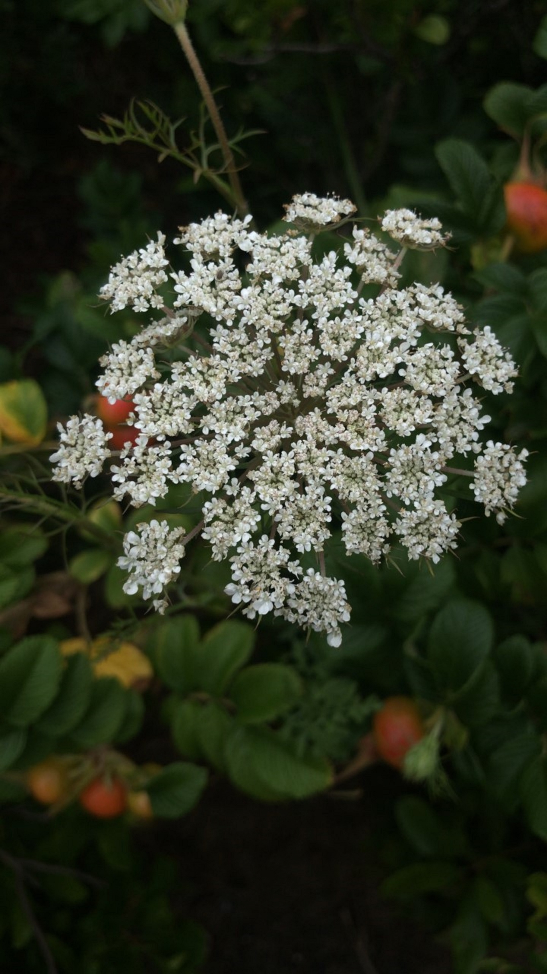 Queen Anne's Lace and rose hips