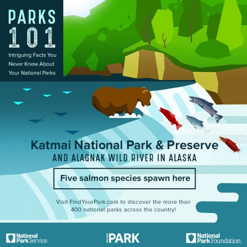 Infographic showing that 5 salmon species spawn in the Alagnak Wild River that runs through Katmai National Park & Preserve.