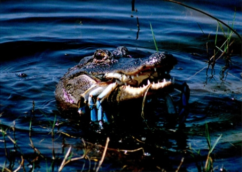 Alligator with food in mouth