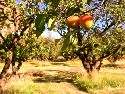 Apricots in an orchard at Capitol Reef National Park