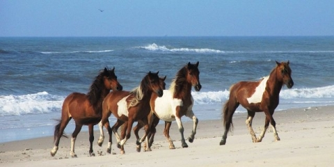 Running Of The Horses Assateague Island