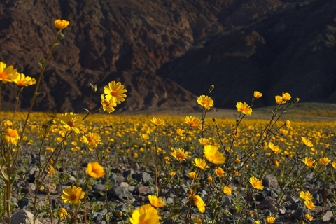 Field of numerous, yellow flowers in Death Valley National Park