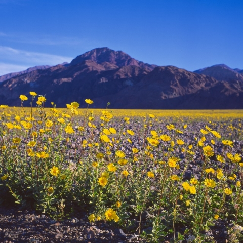 Field of bright, yellow flowers sit in a field in front of Death Valley Mountain view