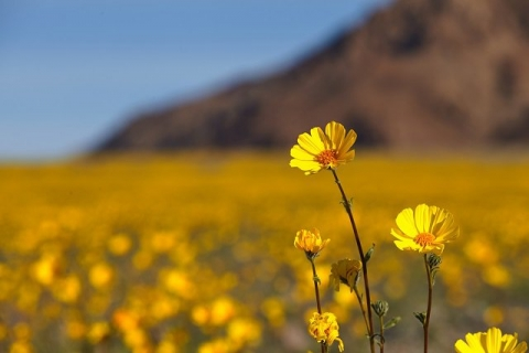 Close, yellow flowers in-sharp focus in a field amongst others