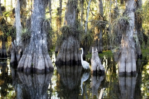 Heron in the Everglades surrounded by water and tree trunks