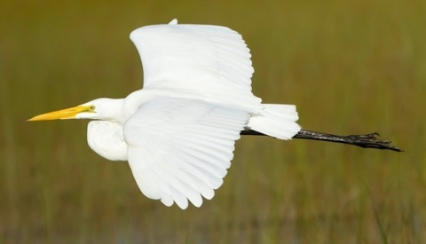 Large, white bird in flight at Everglades National Park