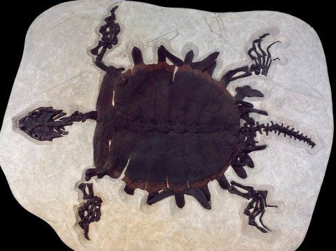 """Fairly complete fossil of softshell turtle (Trionychidae) that was 5'6"""" from Fossil Lake"""