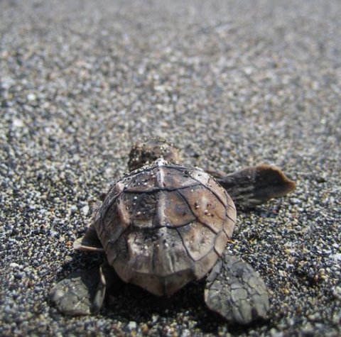 Baby sea turtle at Hawaii