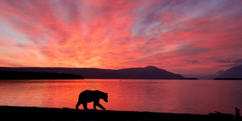 Bear and mountain range silhouetted by the pink sunset.