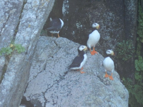 Group of Puffins gathered on rocks