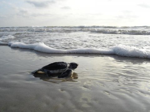 Baby sea turtle heading towards the sea at Padre Island National Seashore
