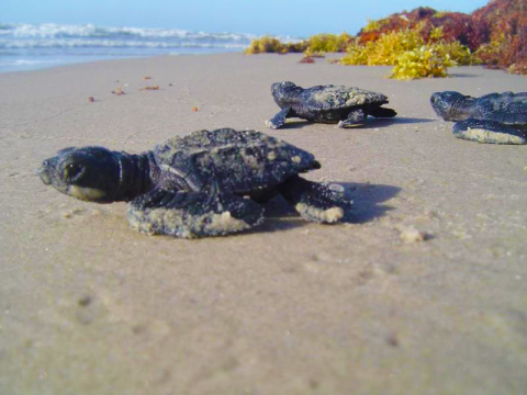 Baby sea turtles as Padre Island