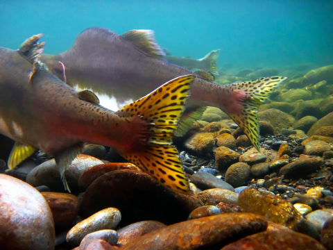Pink salmon swimming in the Elwha River through Olympic National Park