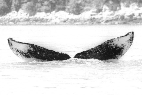 National Park Service photo of Snow's fluke markings, by Janet Neilson, taken under the authority of scientific research permit #945-1499-00, issued by the National Marine Fisheries Service.