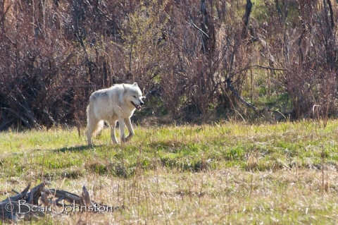 Wolf in Yellowstone