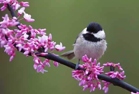 Image of small black and white bird sitting on pink flowered branch