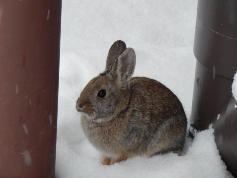A brown mountain cottontail rabbit in the snow at Black Canyon of the Gunnison National Park