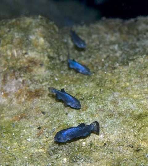 4 iridescent blue pupfish at the bottom of Devil's Hole at Death Valley National Park