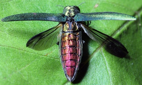 Purple iridescent Emerald ash borer with wings open