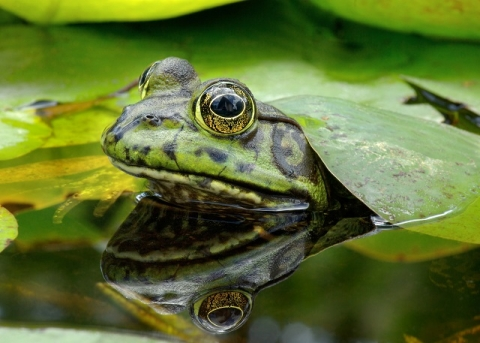 Image of green frog found at NPF BioBlitz