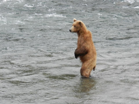 Bear standing in rushing river waters