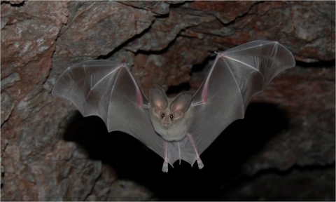 Bat with wings open in a mine shaft at Lake Mead National Recreation Area