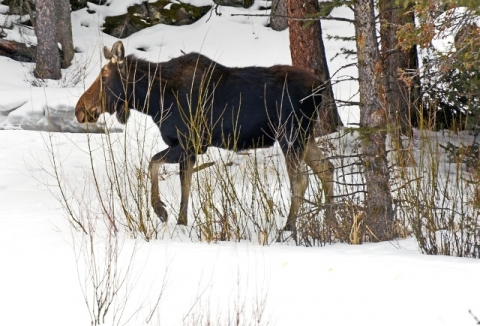 Moose walking through snow