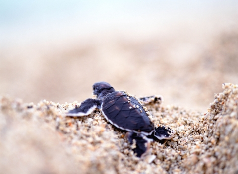 Baby sea turtle crawling in the sand at Padres Island National Shore