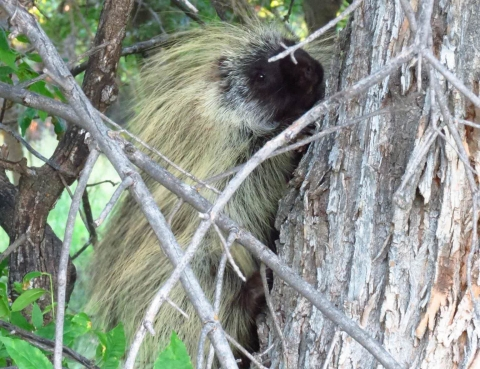 porcupine in a tree at Devils Tower National Monument