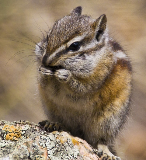 Close-up of a brown and white chipmunk eating something at Rocky Mountain National Park
