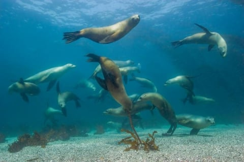 Sea lions swimming under the water
