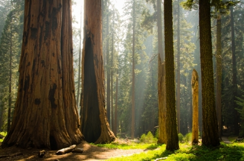 Giant trees at Sequoia National Park