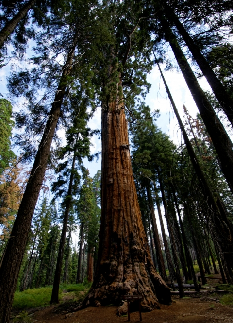 A shadowesque general sequoia tree sits among tall skinny pines