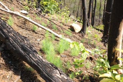 Yellow pine regeneration following a wildfire event