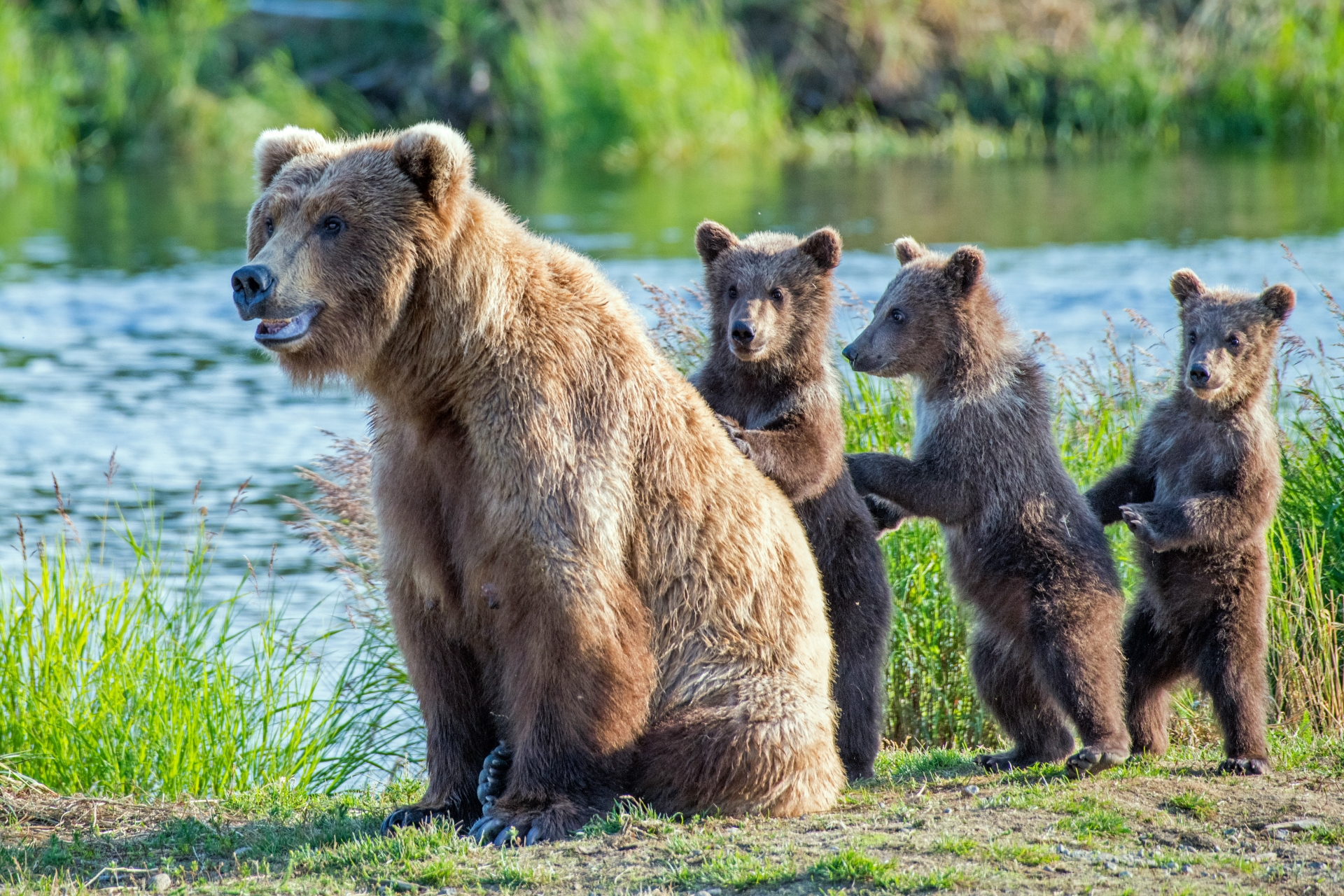 A grizzly bear mother plays with her three cubs