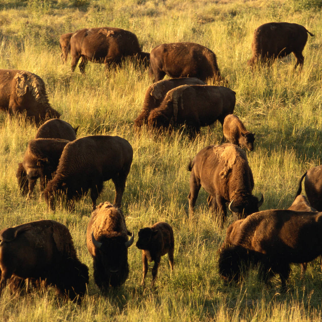 The bison herd at Yellowstone grazes